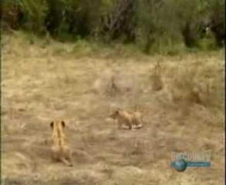Battle in Kruger Park / myLot