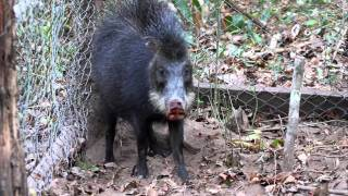 Peccary snapping