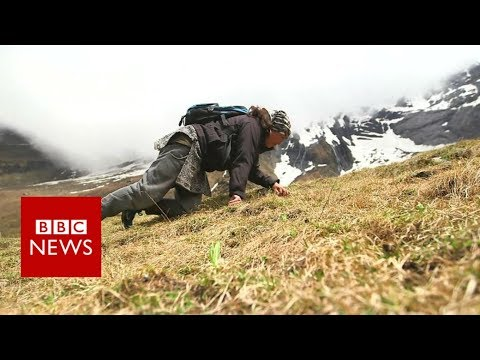 The perilous search for 'Himalayan viagra' - BBC News