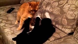 Ginger vs Black Cats Fighting / Рыжий и черный кот дерутся