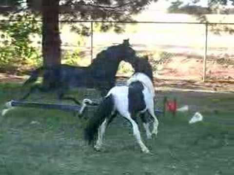 Confused Miniature Horse Stallion