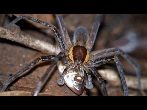 Fish-eating spiders (Păianjenii care mănâncă pești)