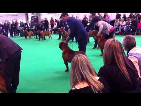 Dogue De Bordeaux Showing Crufts 2015