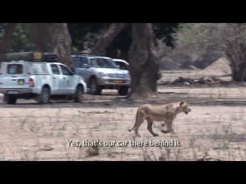 On Foot With Lions In Mana Pools