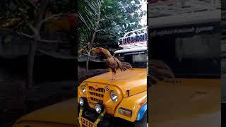 Rooster  Funny Voice