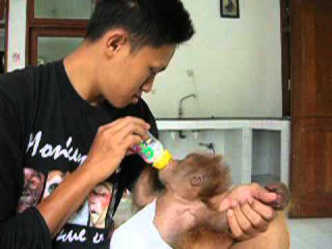 "Sumatran Orangutan ""Hugo Blanco my baby (born to be wild)"""