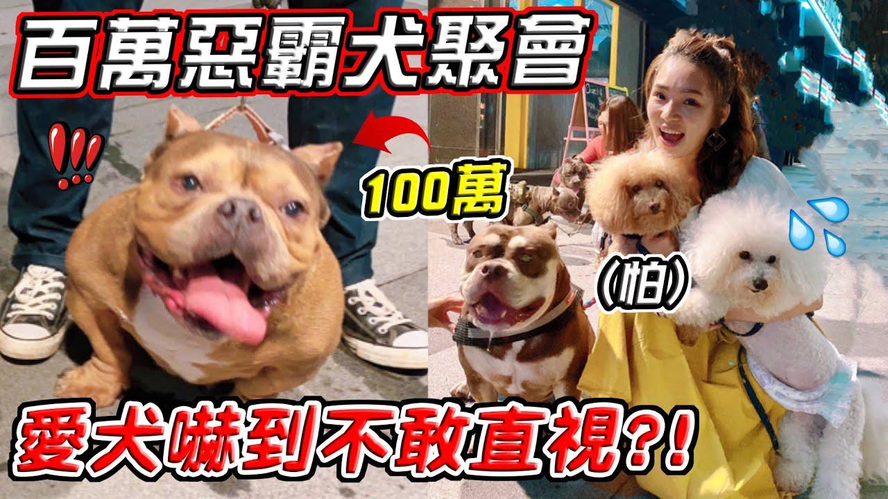最貴狗聚!百萬惡霸犬聚會!一隻狗狗竟要上百萬?!「貧窮限制我的想像」【希露弟弟啃雞腿】比熊 貴賓 Bichon Frise Poodle