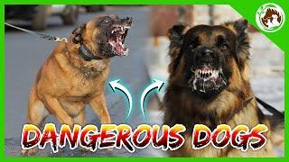 Top 10 Most Dangerous Dog Breeds | Bullmastiff | Akita Inu | Akita Dog