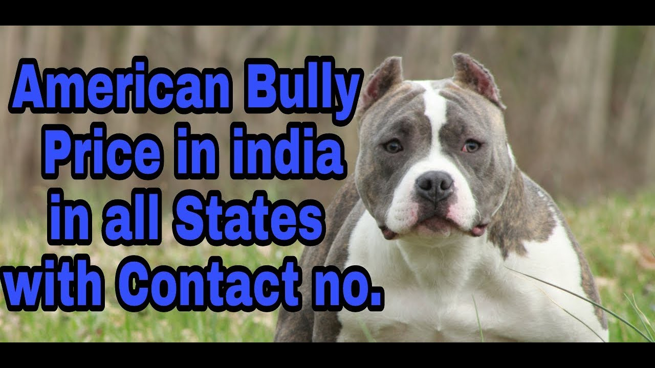 American Bully Price In India In All States With Contact No