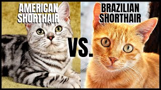 American Shorthair Cat VS. Brazilian Shorthair Cat
