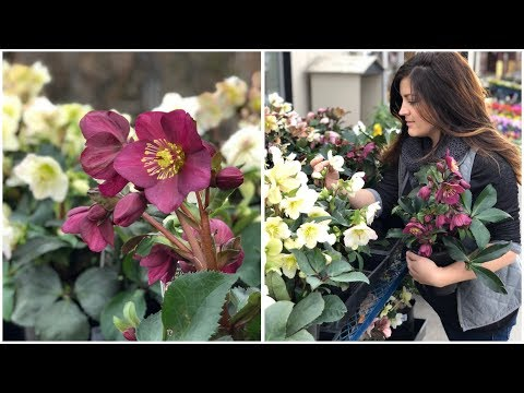 Planting Hellebores // Garden Answer