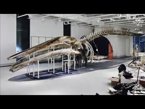 Preparing A Blue Whale For Display