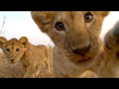 Lion Cubs Play With Spy Cam | Serengeti: Behind The Scenes | BBC Earth