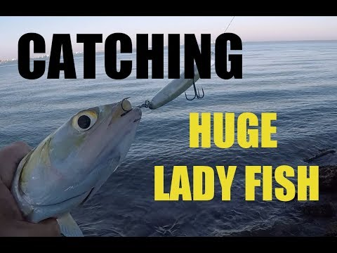 Catching Big Gigantic Lady Fish  From Shore On Lures