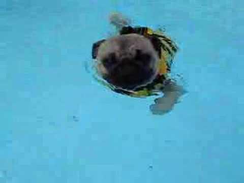Pug Swimming In Pool Youtube