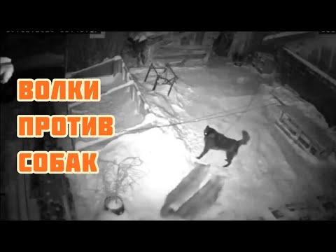 Волки напали на овчарку ! Кто возьмет верх ⁉️⁉️🐺🐕