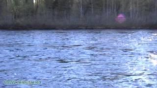 Рыбалка семги. Кольский. Индель и Пана 2013. Кольский полуостров. Лагерь ТЕРФИШ