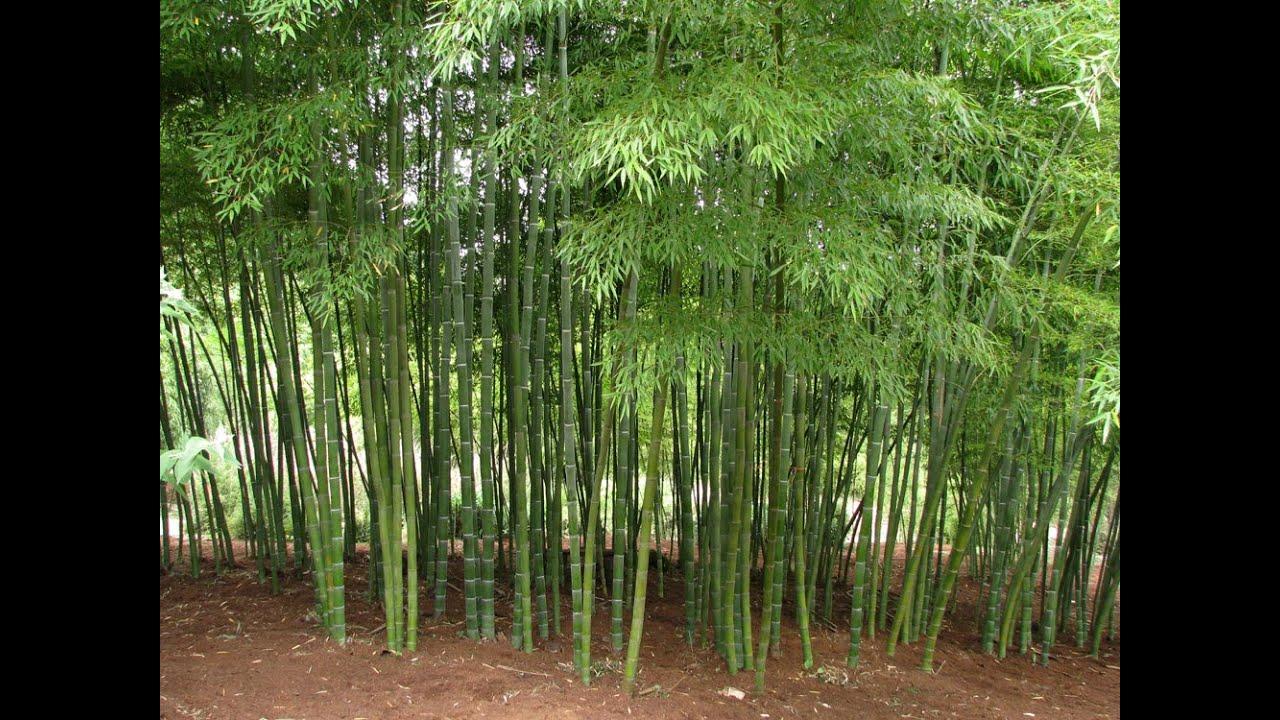 bamboo plant - plants indoor