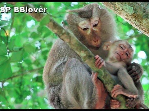 Bonita Steal Baby Monkey Piper Leave New Adopt Danita Alone