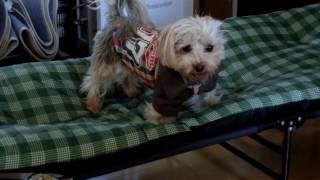 ミックス犬(ヨークシャー・テリアとマルチーズ)が昼寝用ベッドで遊ん...