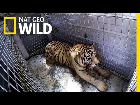 Prepping A Tiger For Surgery | Animal ER