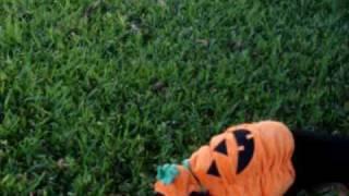 Halloween Dog 2008 - Kish The Pumpkin,dachshund,happy Halloween..