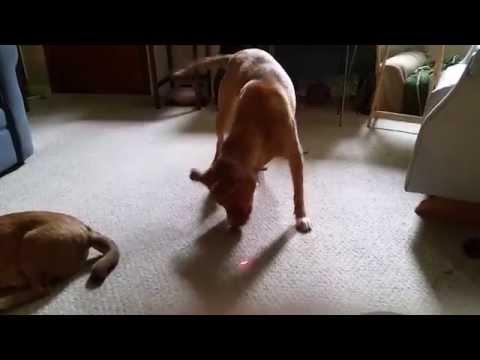 Dog chasing laser pointer