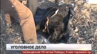 Уголовное дело возбуждено по факту жестокого убийства собаки в Хабаровске. Новости. GuberniaTV.