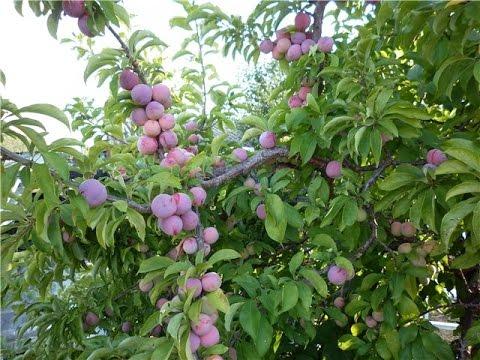 Сорта слив / Золотые сорта плодовых культур