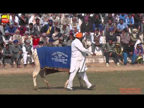 PHALLEWAL (Ludhiana) Sports - 2015    BULL CART RACING    FULL HD   