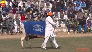 PHALLEWAL (Ludhiana) Sports - 2015 || BULL CART RACING || FULL HD ||