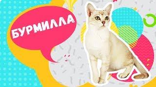 ТОП 5 фактов о шикарной кошке породы Бурмилла. Познавательное видео шоу: Кошки, коты и котята.