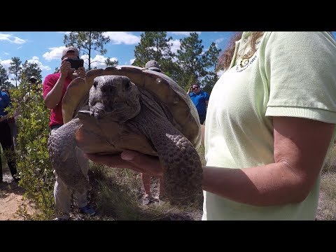 Gopher Tortoise Preservation in South Carolina