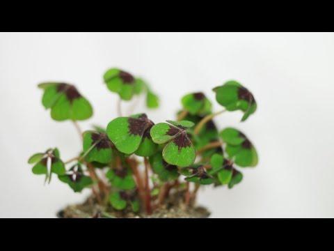 Oxalis tetraphylla (deppei) - Glücksklee, Lucky Clover