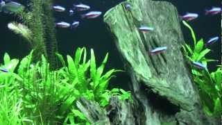 The Freshwater Planted Aquarium