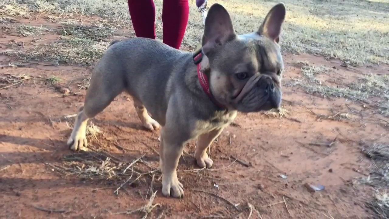 French Bulldog Stud Winston From Our Stables