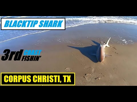 BIG BLACKTIP SHARK FROM SHORE | SHARK FISHING CORPUS CHRISTI, TX | NATIONAL SEASHORE PARK