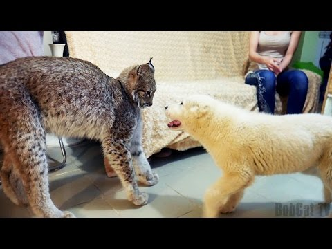 .      / LYNX REACTION TO THE SHEPHERD PUPPY