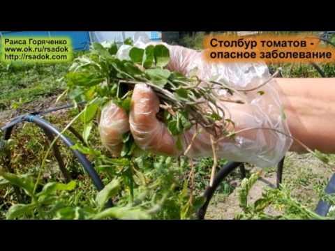 Столбур томатов -  опасное заболевание