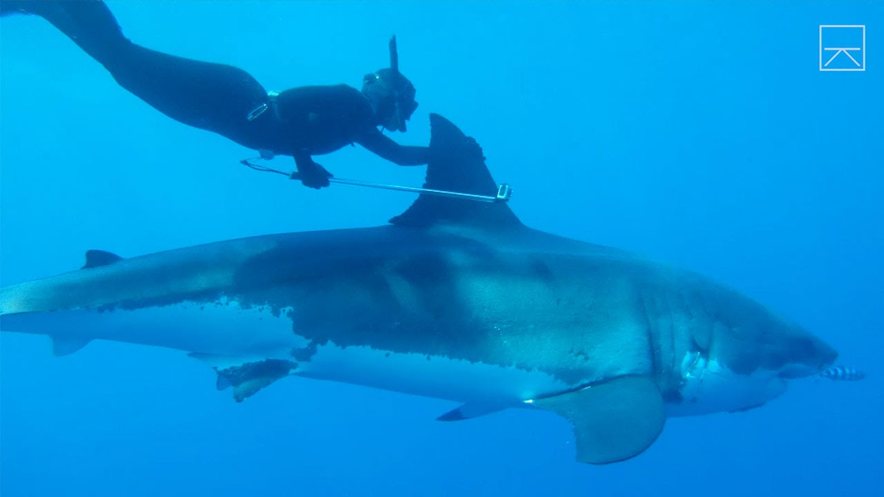 Girl swims with sharks