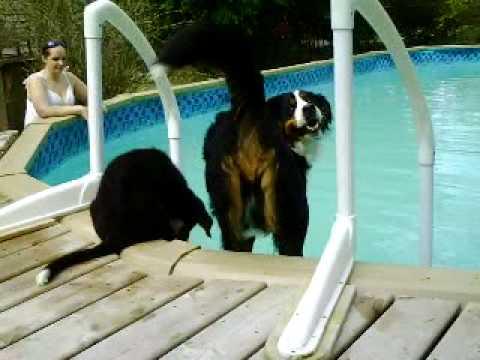 Bernese Mountain Dogs First Swim of the Season