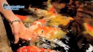 Корма и кормление карпов кои, нормальный аппетит и поведение здоровых рыб(Вот так энергично должны есть здоровые карпы кои. Ну и, конечно же, их доверие к человеку не может оставить..., 2014-05-08T13:38:01.000Z)