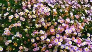 Video Erigeron karvinskianus ' Moerheimii' - Santa Barbara Daisy download MP3, 3GP, MP4, WEBM, AVI, FLV Agustus 2018