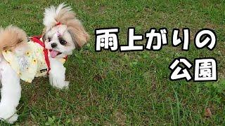 お散歩(雨上がりの公園)✨生後9ヶ月✨【シーズー 犬 / 子犬 / shih tzu dog / puppy】