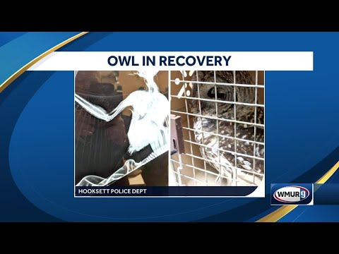 Owl recovering after being struck by car in Hooksett