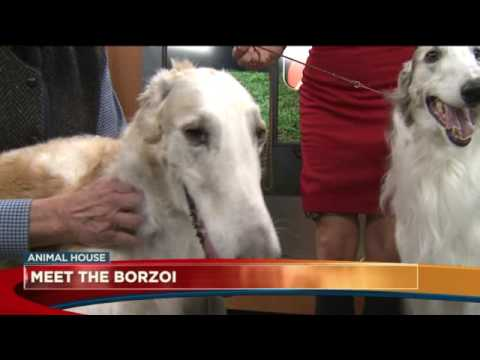 Meet the Borzoi
