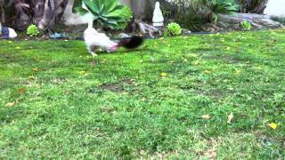 Playing Tug Of War. West Highland Terrier & Tea Cup Yorkshire Terrier