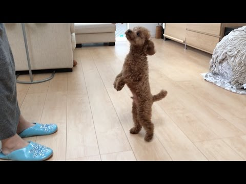 teacup toy poodle attackes cat! from YouTube · Duration:  47 seconds