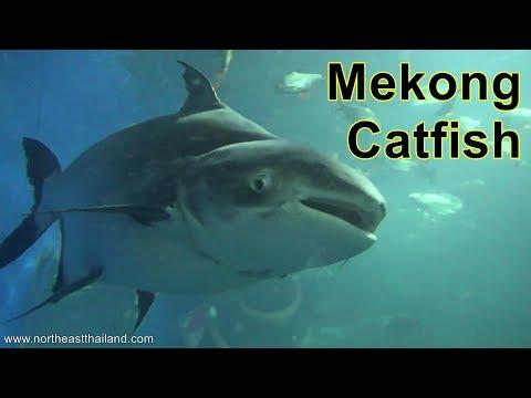 The Giant Mekong Catfish At Nong Khai  Aquarium, Thailand.