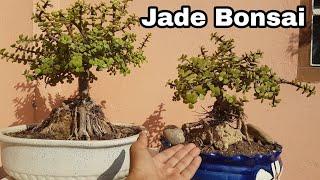 How to make Bonsai : Jade Bonsai : Root over rock style Bonsai